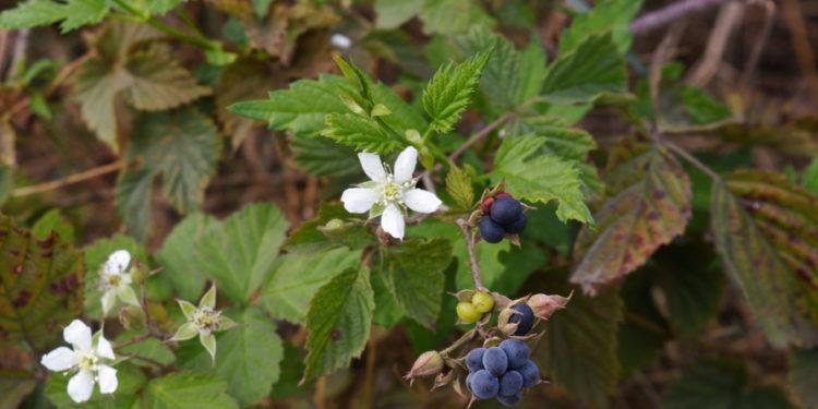 Kratzbeere-Blätter, Blüten, Früchte