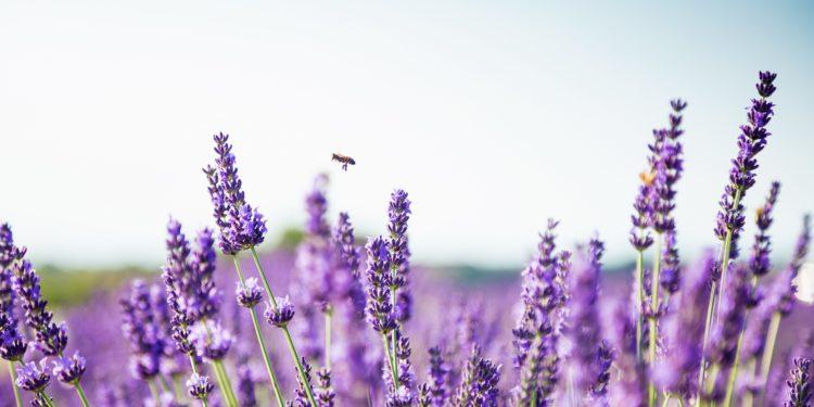 Blühernder Lavendel in Großaufnahme.