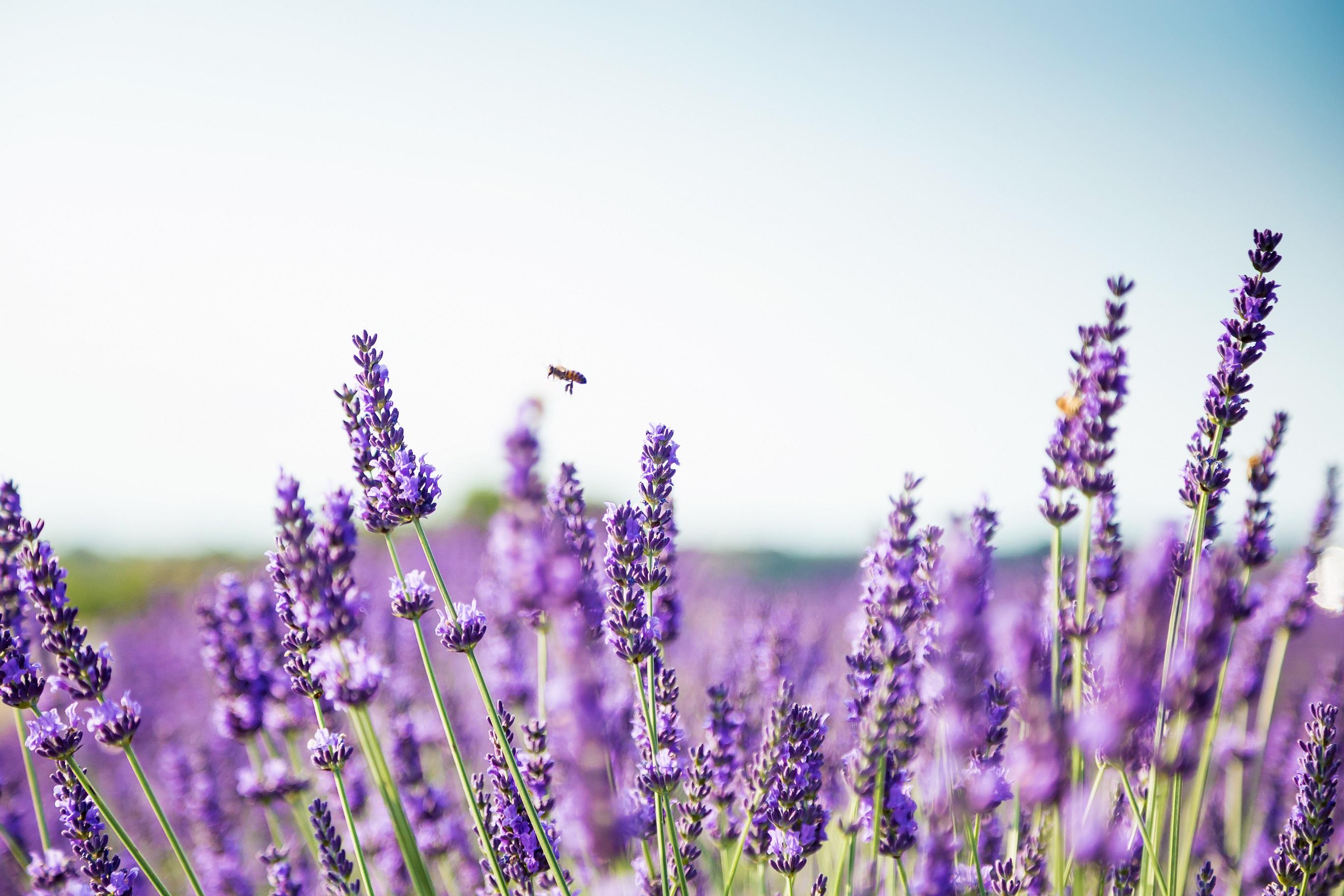 Lavendel wirkt gegen Angststörungen – Naturheilkunde ...