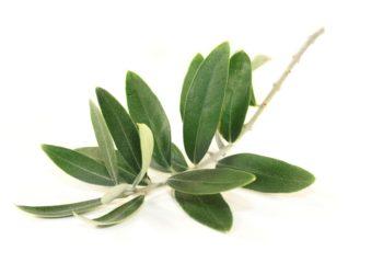 Zweig mit Olivenblättern vor hellem Hintergrund.
