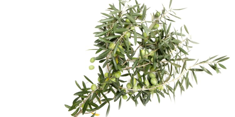Ein Sträußchen mit Olivenzweigen.