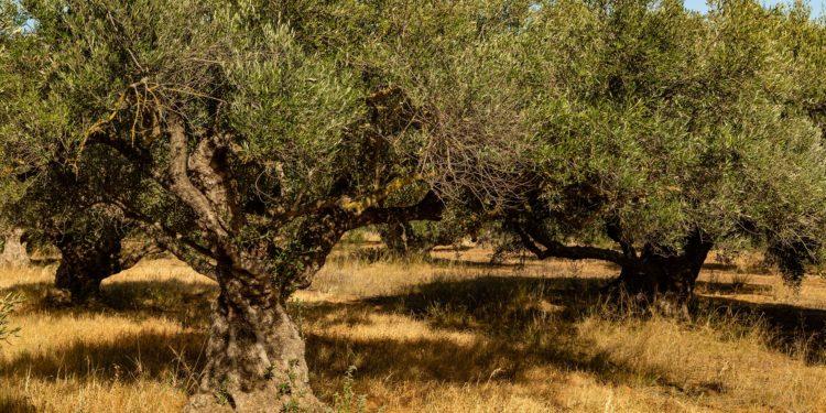 Mehrere Olivenbäume stehen dicht beieinander auf trockenem Boden.