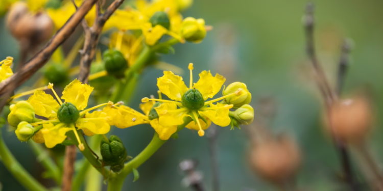 Raute - Pflanze