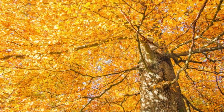 Rotbuchenbaum
