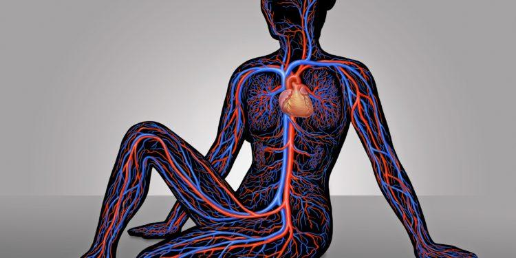 Schematische Darstellung des Herzens und der Blutgefäße im Körper einer Frau.