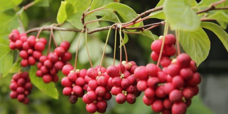 Rote Schisandra-Beeren hängen an einem Ast.