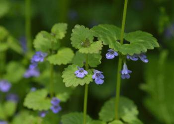Gundermann Blüten und Blätter