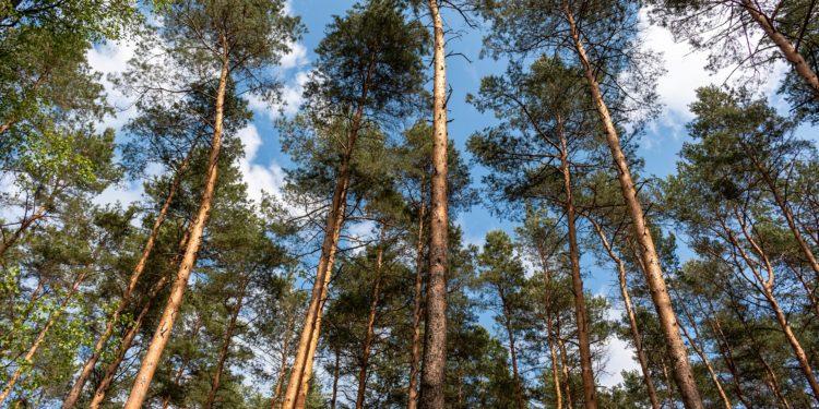 Mehrere Kiefern in einem Wald.