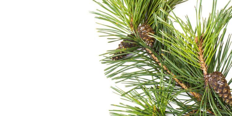 Ein Kiefernzweig mit Zapfen vor weißem Hintergrund.