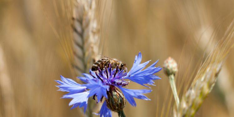 Eine Biene sitzt auf einer Kornblumenblüte und saugt Nektar.