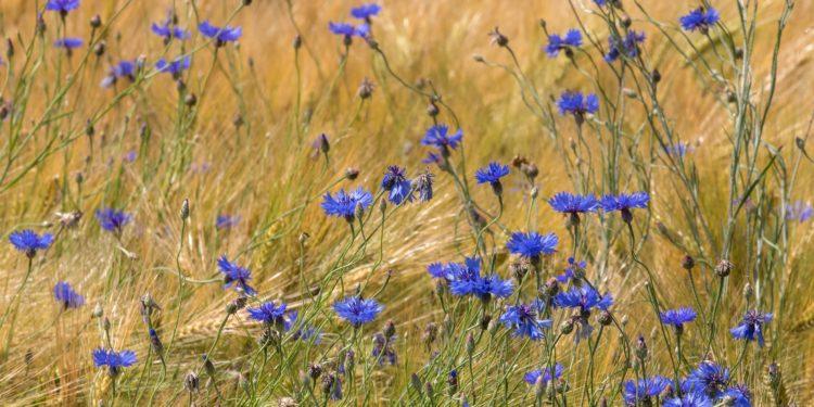 Kornblumen in einem Gerstenfeld.