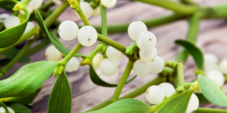 Grüner Mistelzweig mit weißen Beeren auf braunem Untergrund