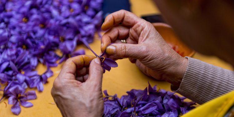Eine Person sitzt an einem Tisch und entnimmt die Safranfäden aus den Blüten des Crocus-Sativus.