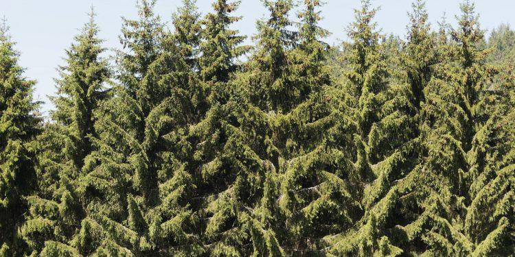 Wald mit hoch gewachsenen Weißtannen.