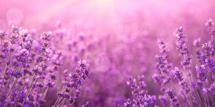 Violettes Lavendelfeld