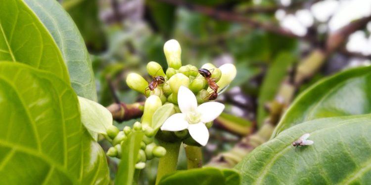 Blätter und weiße Blüten von Morinda officinalis