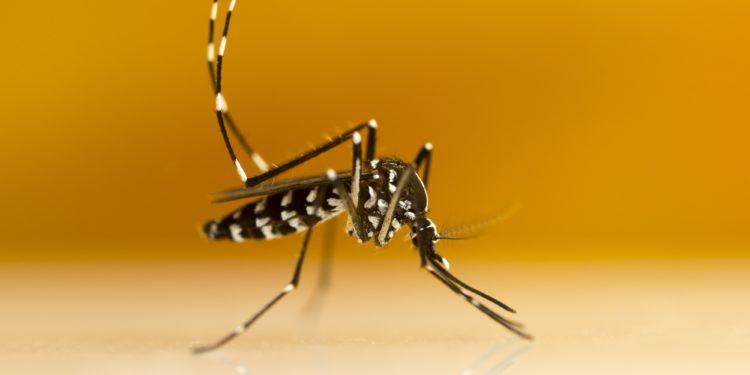 Nahaufnahme einer asiatischen Tigermücke.