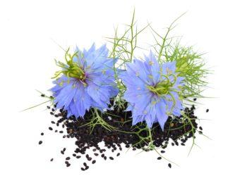 Zwei blaue Schwarzkümmelblüten drapiert auf einem Stoß Schwarzkümmelsamen.