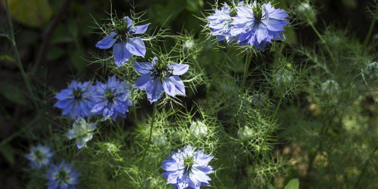 Mehrere Schwarzkümmelpflanzen mit bleuen Blüten.
