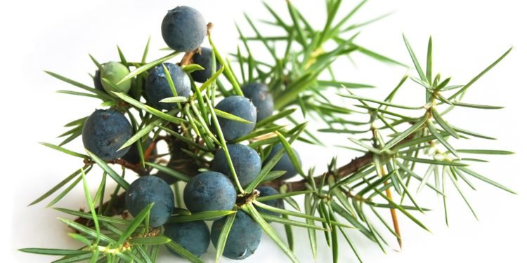 Wacholderzweig mit nadelförmogen Blättern und dunkelblauen Beeren.