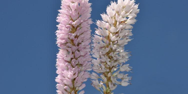 Wiesenknöterichblüten