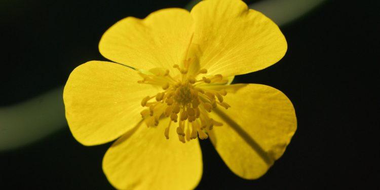 Blüte einer Butterblume in Nahaufnahme.