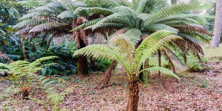 Mehrere Baumfarne in einem Wald