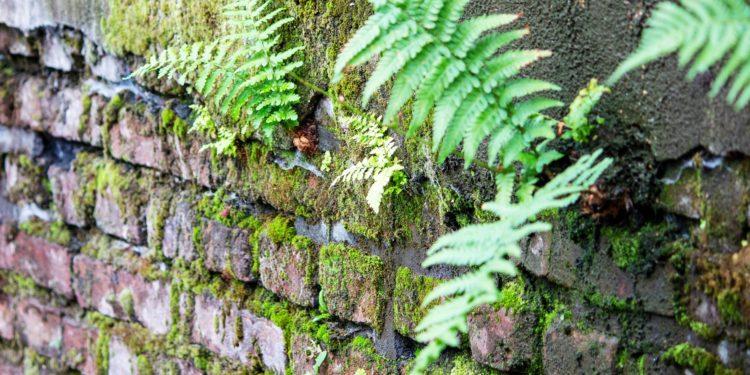 Echter Wurmfarn wächst an einer mit Moos bedeckten alten Steinmauer.