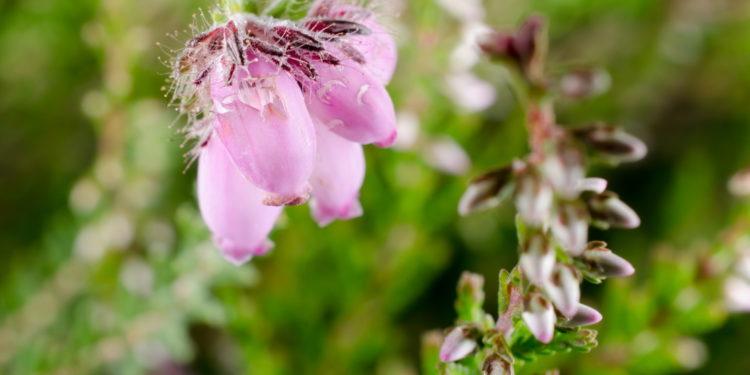 Heidekrautblüte