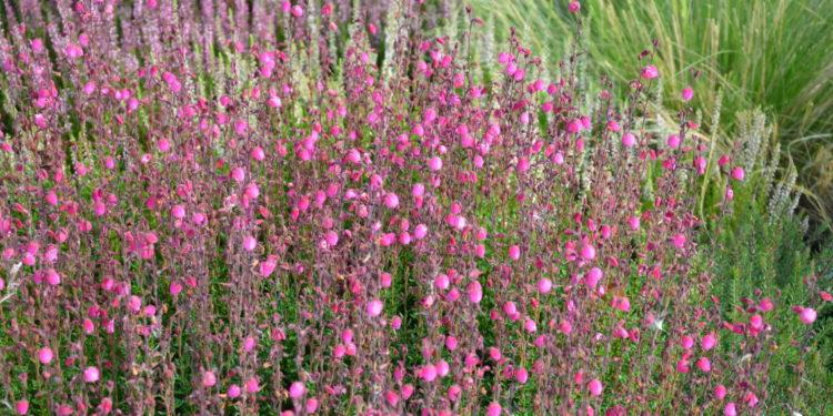 Glockenheidepflanzen im Garten