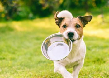 Hund auf der Wiese mit einer Metallschüssel im Maul