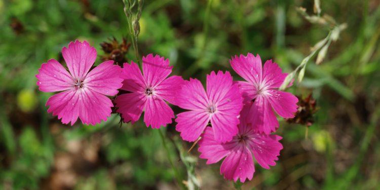 Purpurn gefärbte Blüten einer Kartäusernelke in Nahaufnahme.