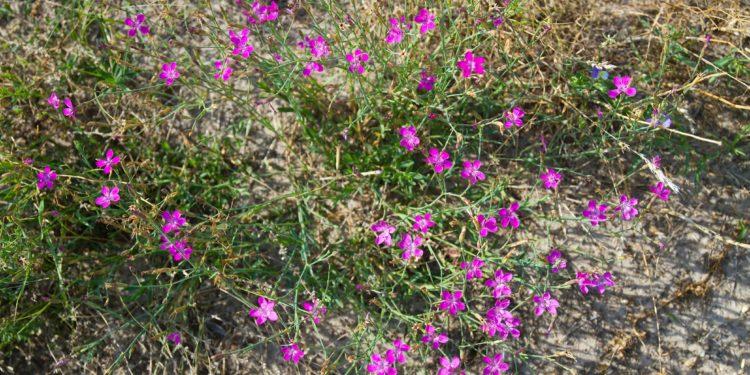Blühende Kartäusernelken in trockener Erde.