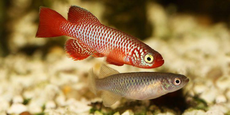 Zwei Killifische in einem Aquarium.