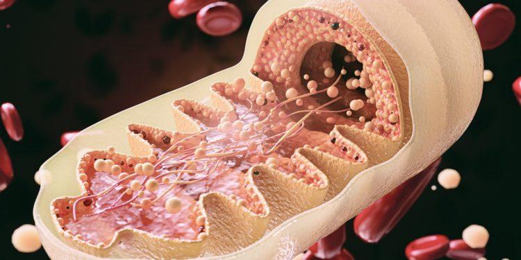 Eine grafische Darstellung über den Aufbau von Mitochondrien
