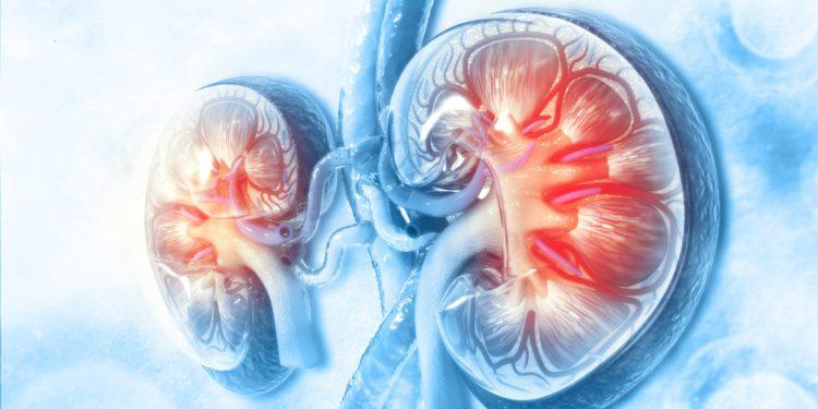 Die grafische Darstellung von einem Paar menschlicher Nieren.