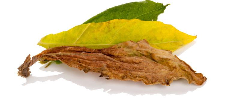 Frischer und getrockneter Tabak