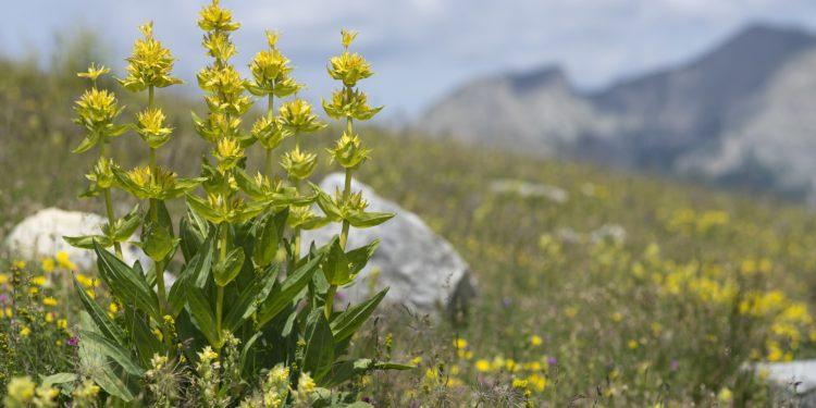 Gelber Enzian auf einer Wiese im Gebirge.