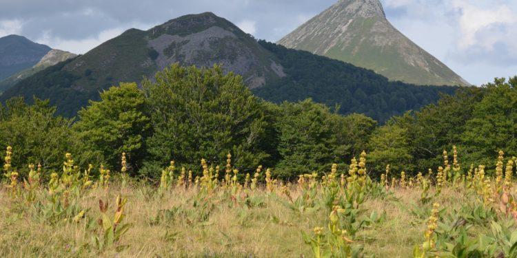 Gelber Enzian auf einer Bergwiese in den Alpen.