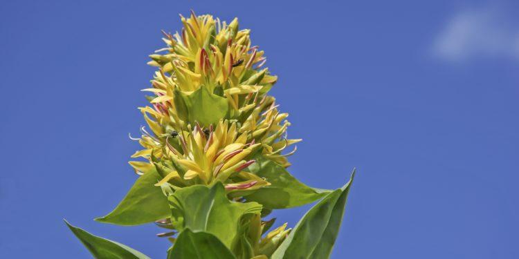 Blüte eines gelben Enzians vor blauem Himmel.