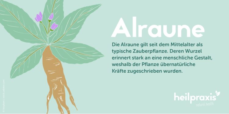Illustration einer Alraune-Wurzel mit kurzem Info-Text über die Entstehung der Zauberpflanzen-Legende.