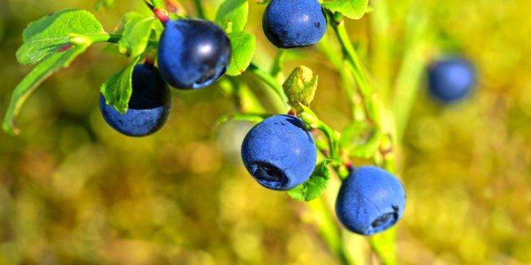 Waldheidelbeere mit mehreren blauen Beeren.