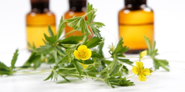 Fingerkrautpflanze und Tinkturflaschen