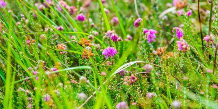 Gräser und Glockenheidepflanzen