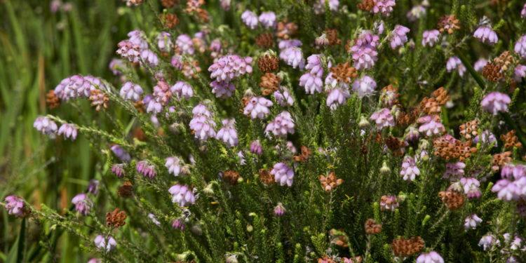 Blühende Heidekrautpflanzen