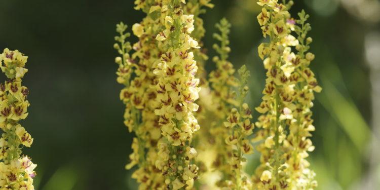 Königskerzenpflanze