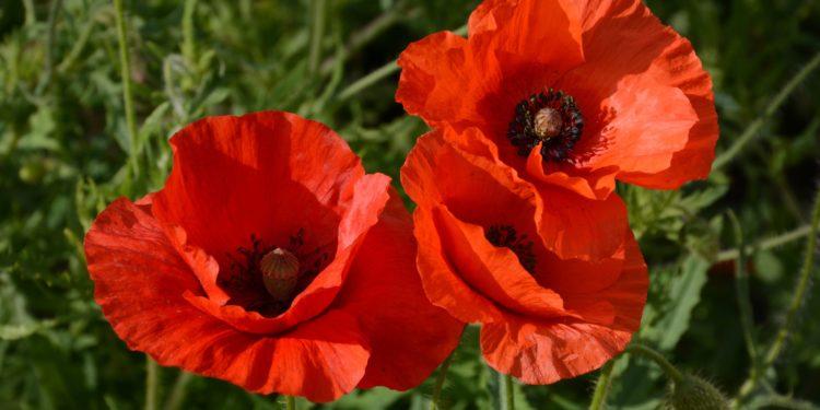 Drei Klatschmohn-Blüten in Nahaufnahme