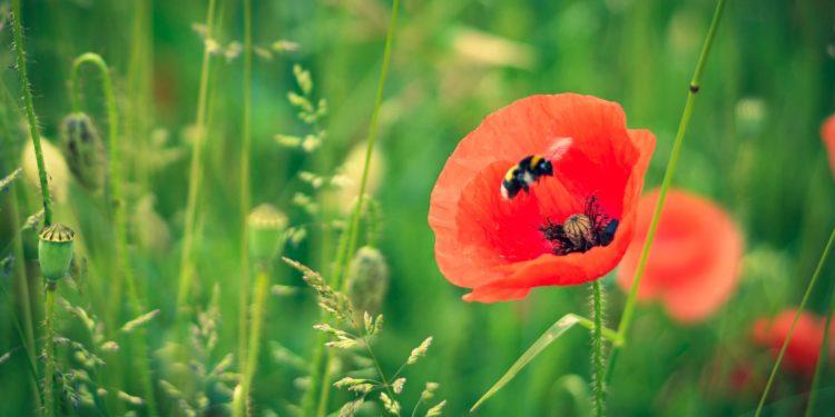Eine Biene fliegt die Blüte einer Mohnblume an.