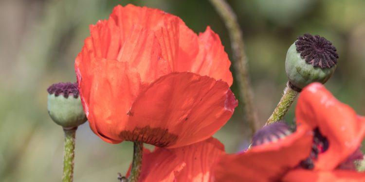 Klatschmohn mit Blütenblättern und Samenkapseln
