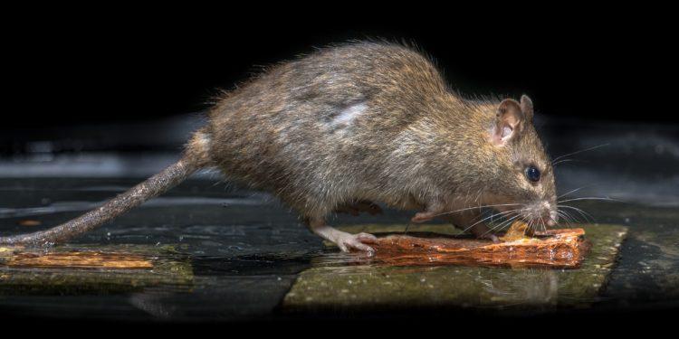 Eine wilde Ratte in der Kanalisation.